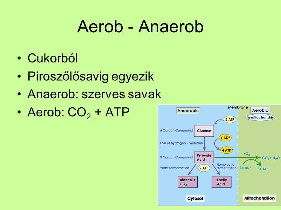 Aerob - Anaerob Cukorból Piroszőlősavig egyezik Anaerob: szerves savak
