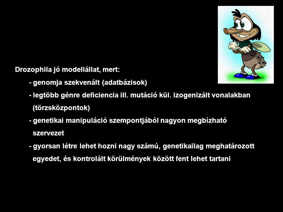 Drozophila jó modellállat, mert: