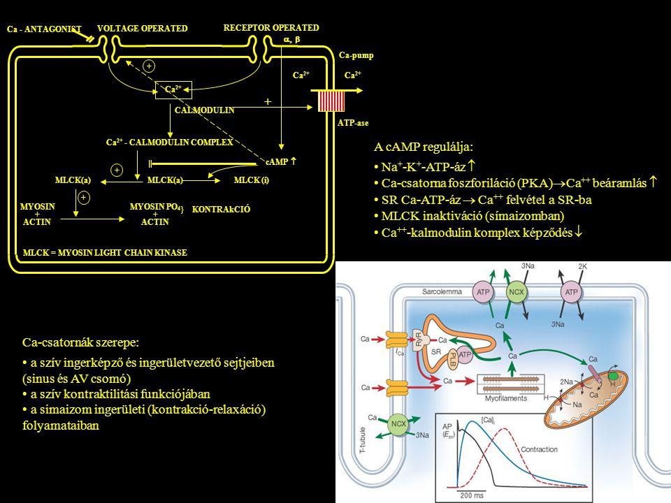• Ca-csatorna foszforiláció (PKA)Ca++ beáramlás 