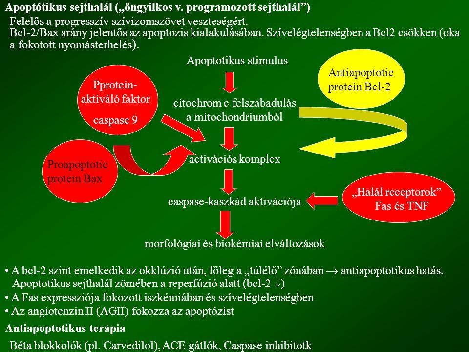 """Apoptótikus sejthalál (""""öngyilkos v. programozott sejthalál )"""
