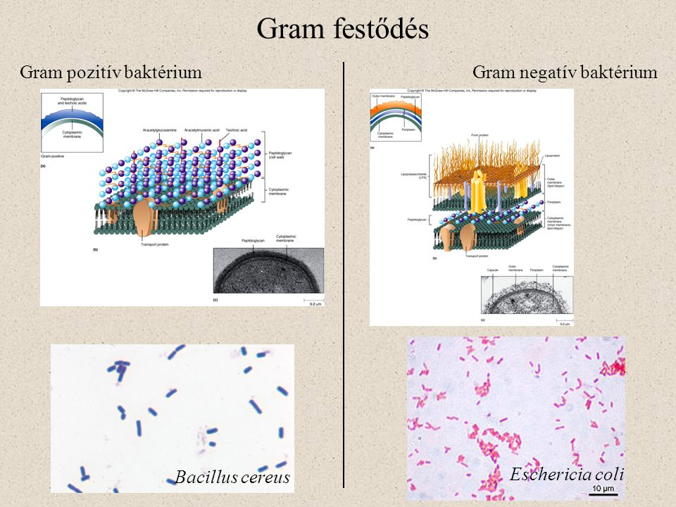 Gram festődés Gram pozitív baktérium Gram negatív baktérium