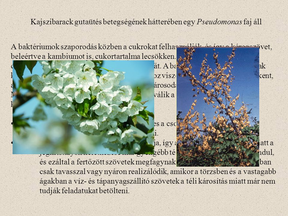 Kajszibarack gutaütés betegségének hátterében egy Pseudomonas faj áll