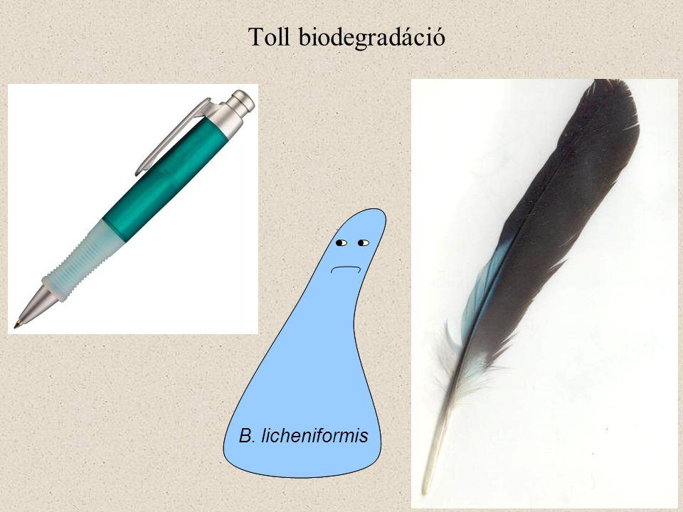 Toll biodegradáció B. licheniformis