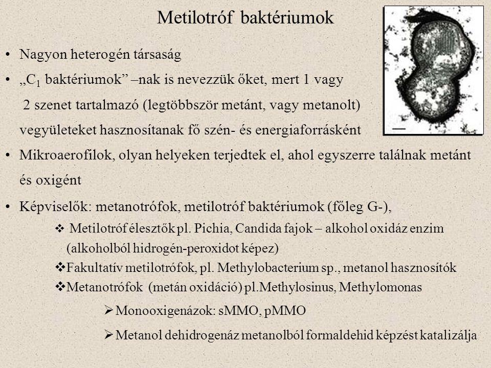 Metilotróf baktériumok