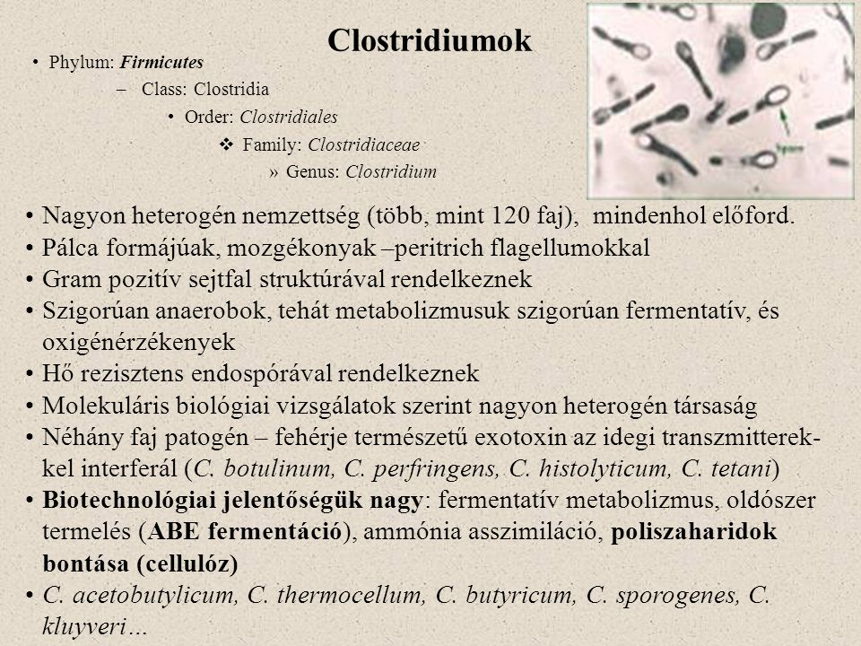 Clostridiumok Phylum: Firmicutes. Class: Clostridia. Order: Clostridiales. Family: Clostridiaceae.