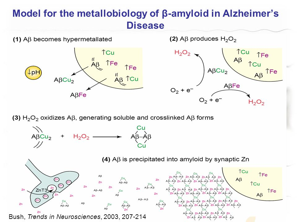 Model for the metallobiology of β-amyloid in Alzheimer's Disease