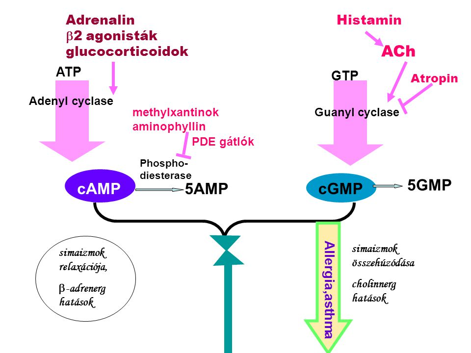 ACh 5GMP cAMP 5AMP cGMP Adrenalin b2 agonisták glucocorticoidok