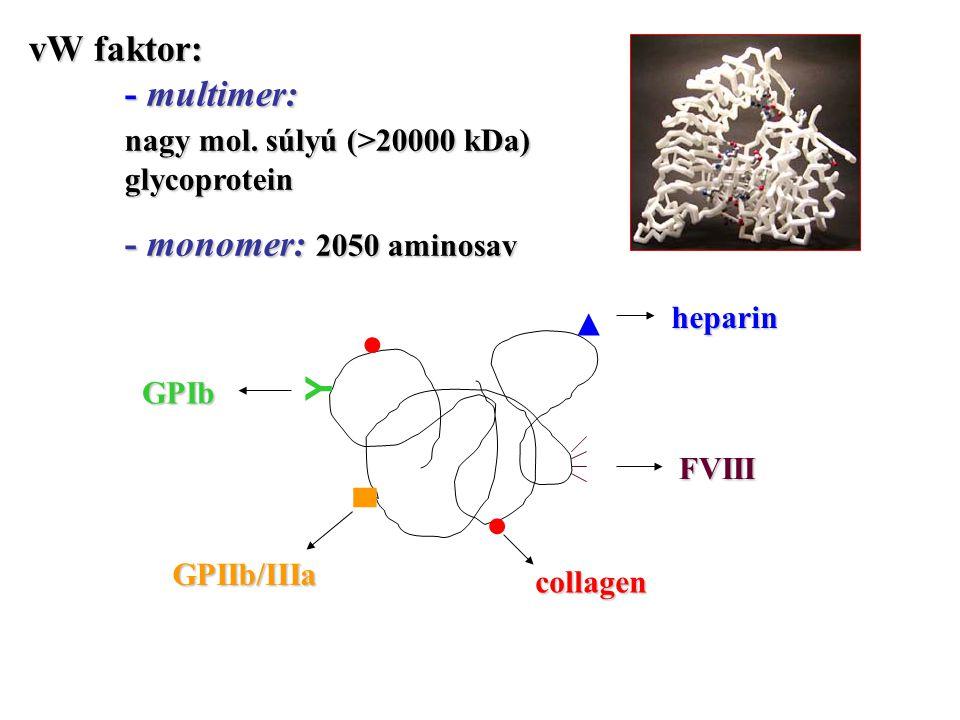 vW faktor: - multimer: nagy mol. súlyú (>20000 kDa) glycoprotein
