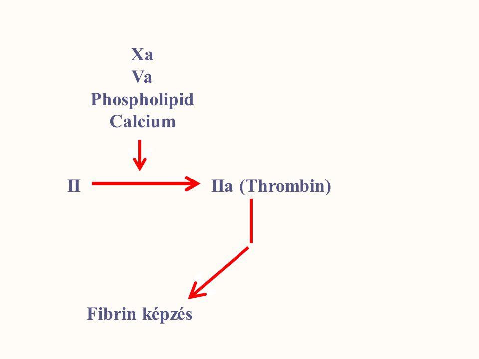 Xa Va Phospholipid Calcium II IIa (Thrombin) Fibrin képzés