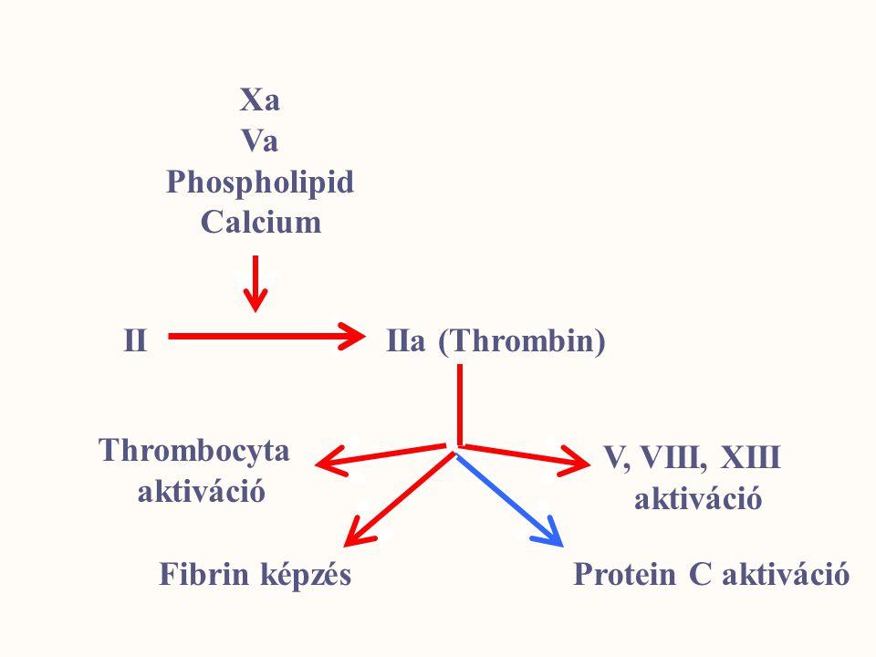 Xa Va. Phospholipid. Calcium. II IIa (Thrombin) Thrombocyta. aktiváció. V, VIII, XIII. aktiváció.