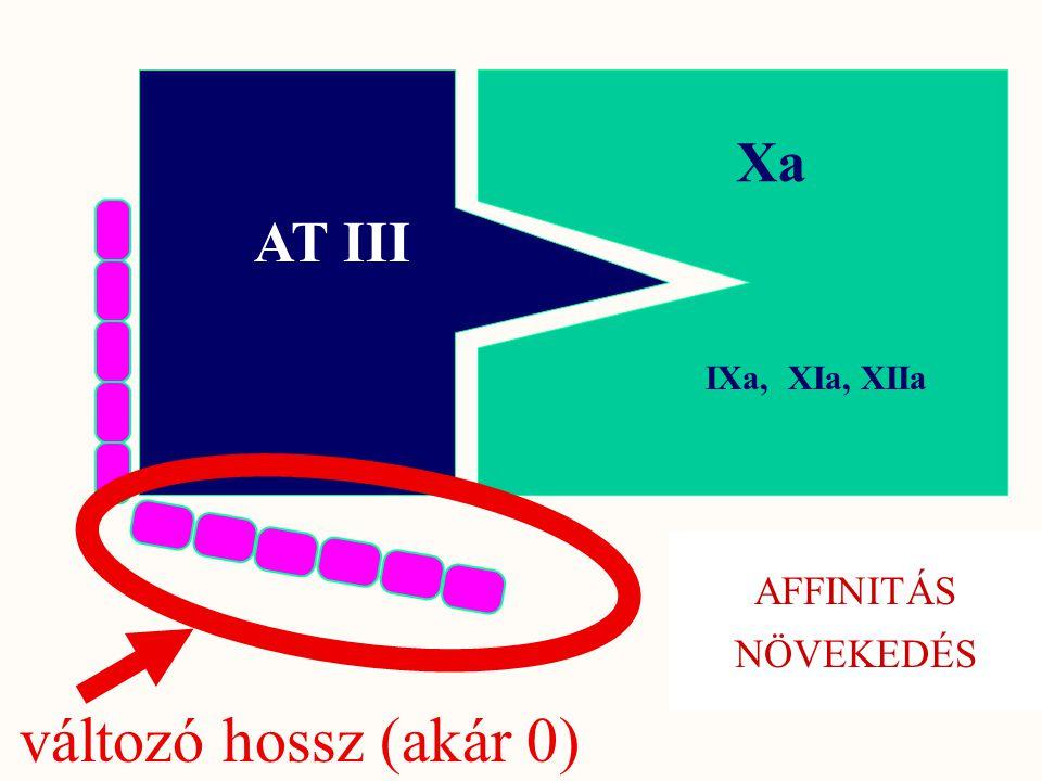 Xa AT III IXa, XIa, XIIa AFFINITÁS NÖVEKEDÉS változó hossz (akár 0)