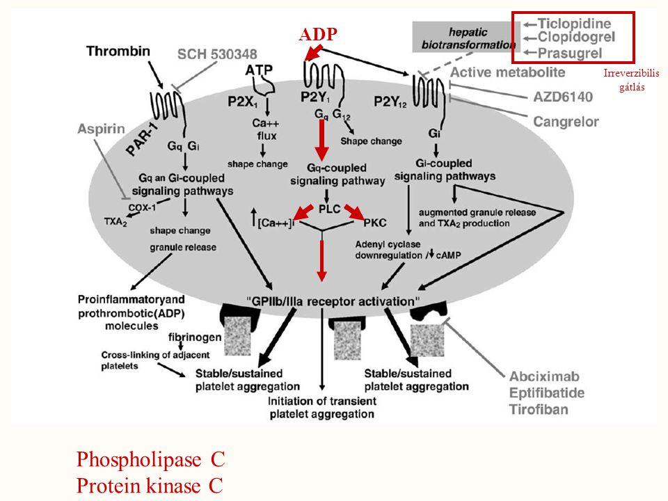 ADP Irreverzibilis gátlás Phospholipase C Protein kinase C