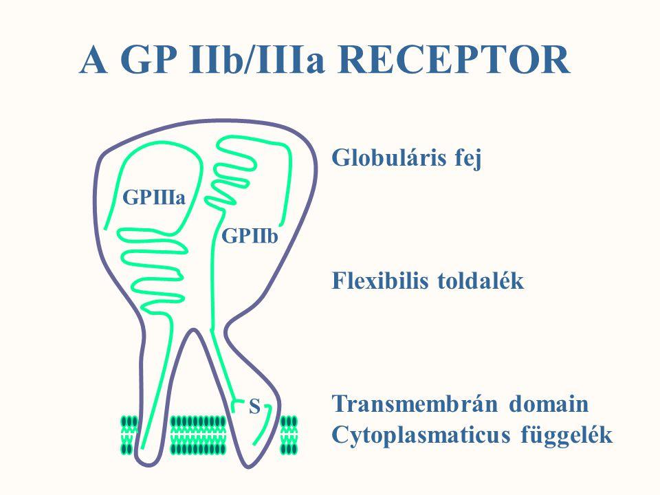 A GP IIb/IIIa RECEPTOR Globuláris fej Flexibilis toldalék
