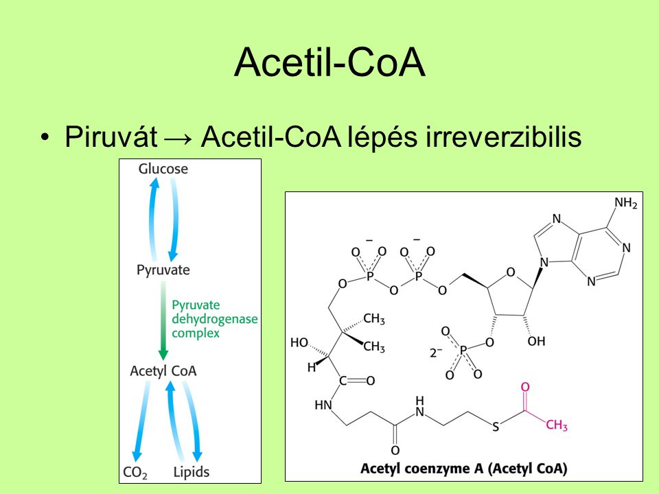 Acetil-CoA Piruvát → Acetil-CoA lépés irreverzibilis
