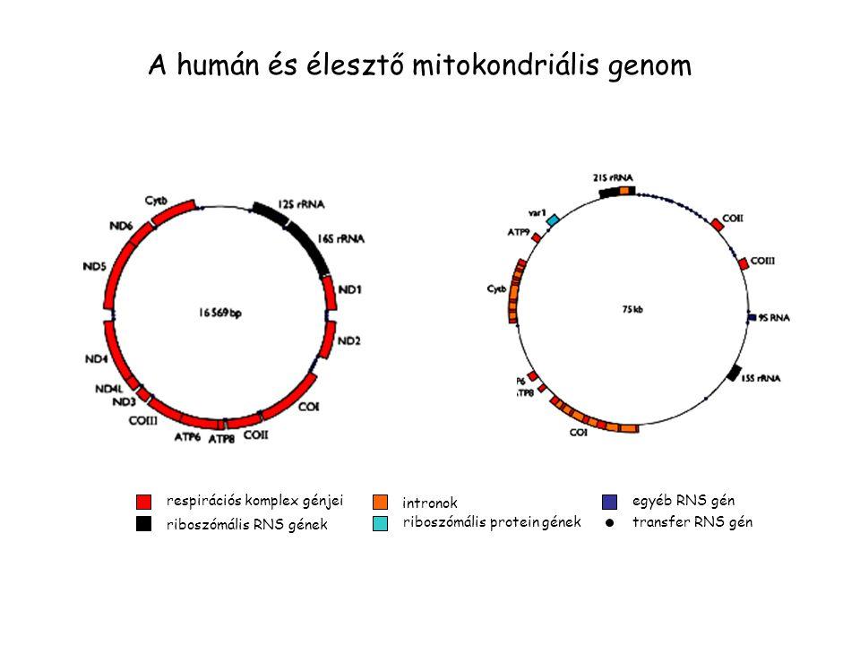 A humán és élesztő mitokondriális genom