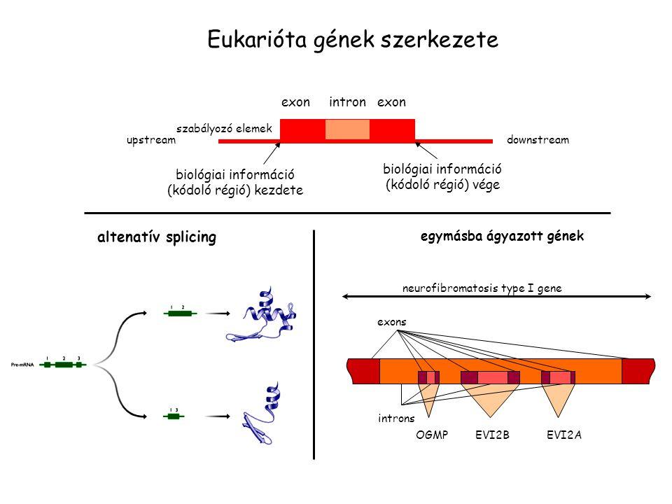 egymásba ágyazott gének