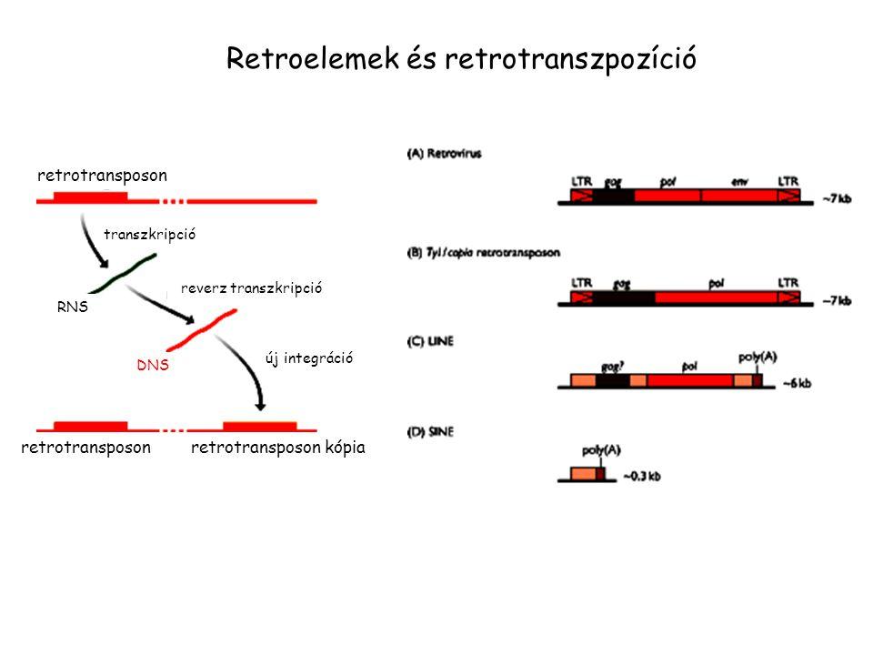 Retroelemek és retrotranszpozíció