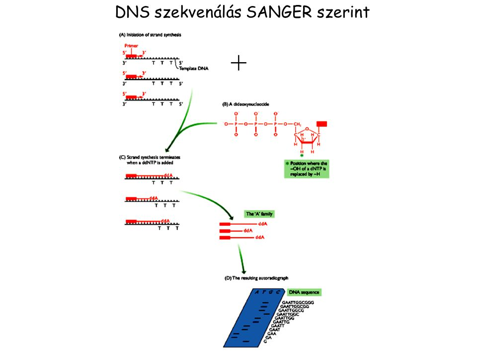 DNS szekvenálás SANGER szerint