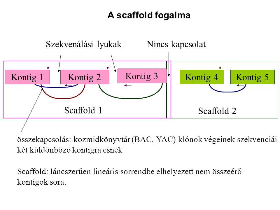 Szekvenálási lyukak Nincs kapcsolat Scaffold 2 Scaffold 1 Kontig 4