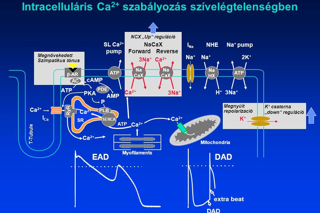 Intracelluláris Ca2+ szabályozás szívelégtelenségben