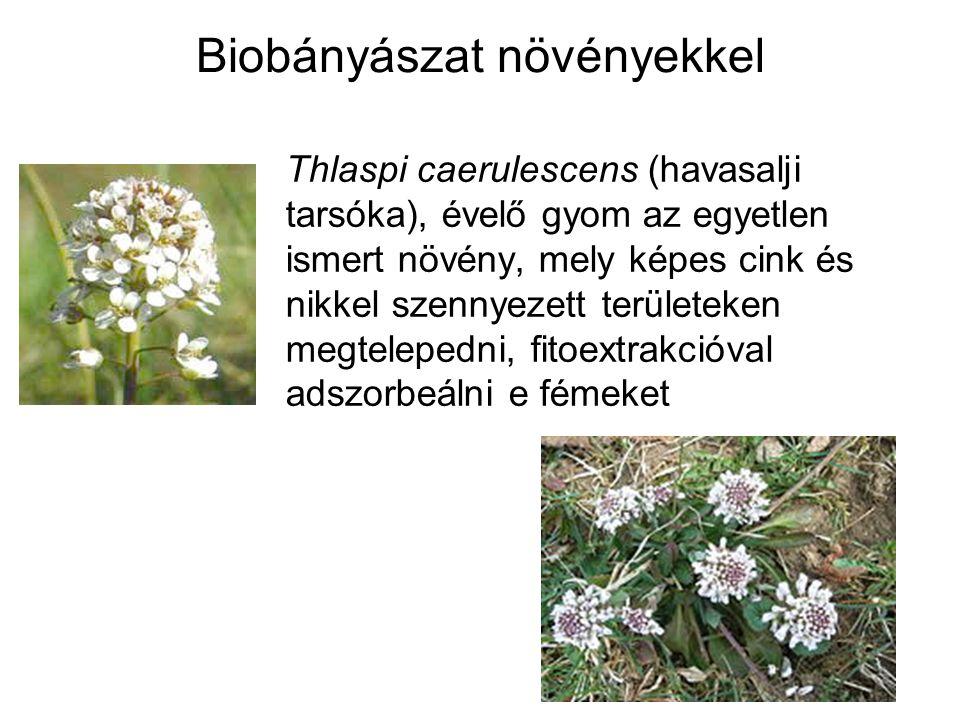Biobányászat növényekkel