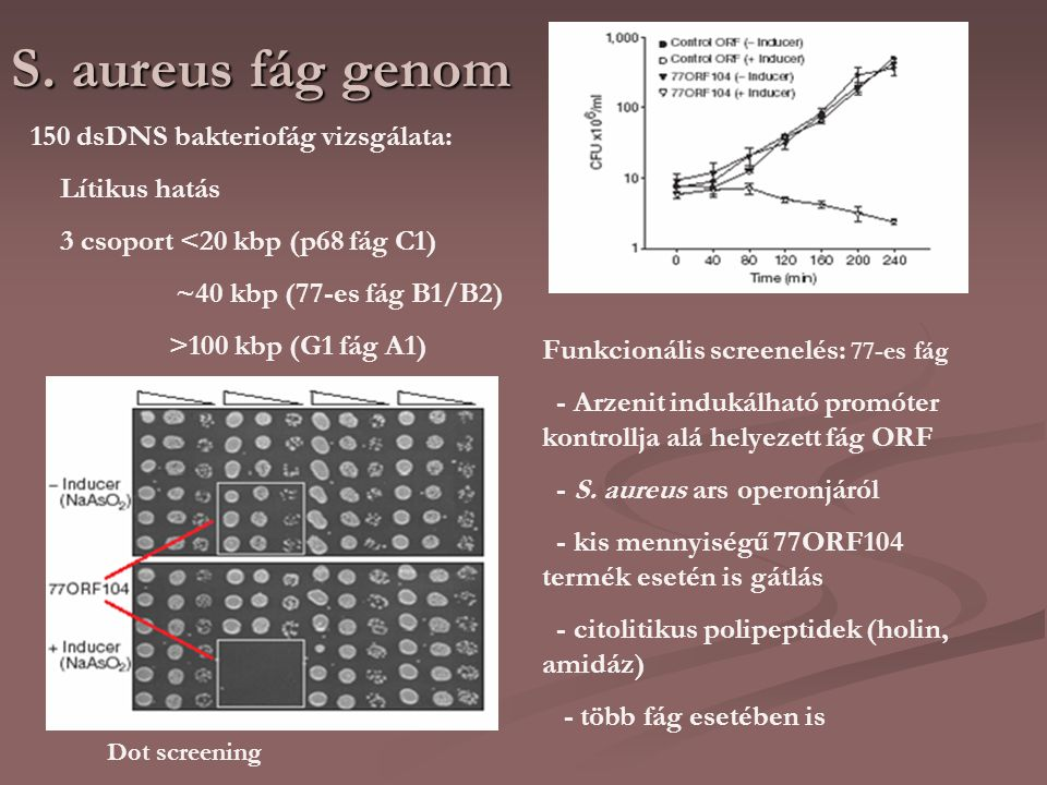 S. aureus fág genom 150 dsDNS bakteriofág vizsgálata: Lítikus hatás