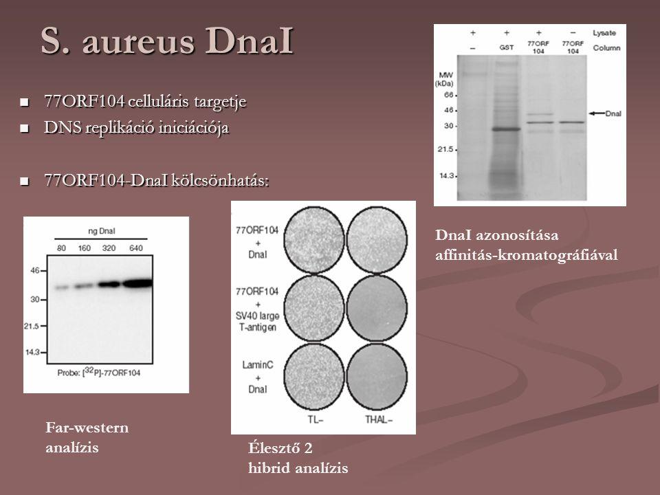 S. aureus DnaI 77ORF104 celluláris targetje DNS replikáció iniciációja