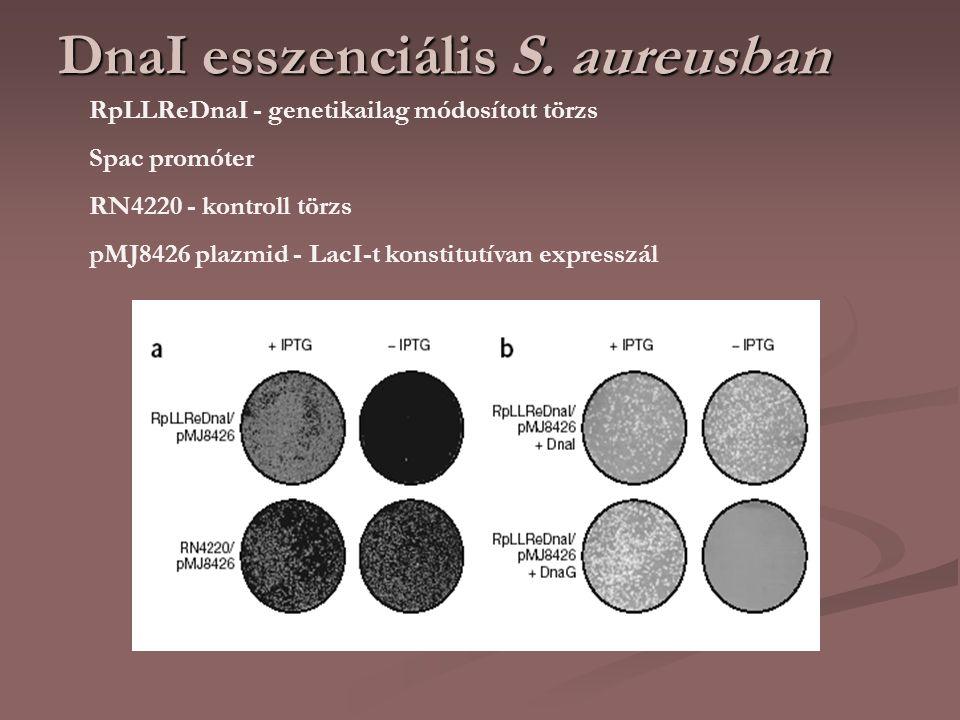 DnaI esszenciális S. aureusban