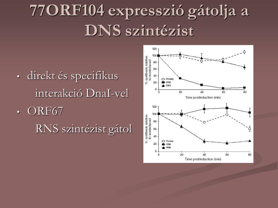 77ORF104 expresszió gátolja a DNS szintézist