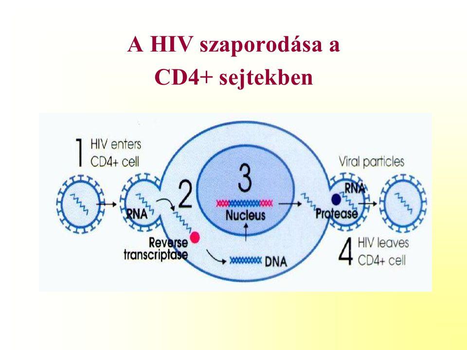A HIV szaporodása a CD4+ sejtekben