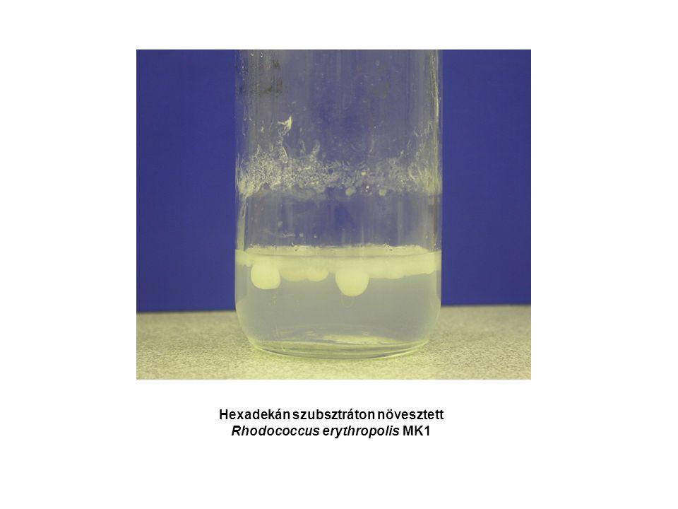Hexadekán szubsztráton növesztett Rhodococcus erythropolis MK1