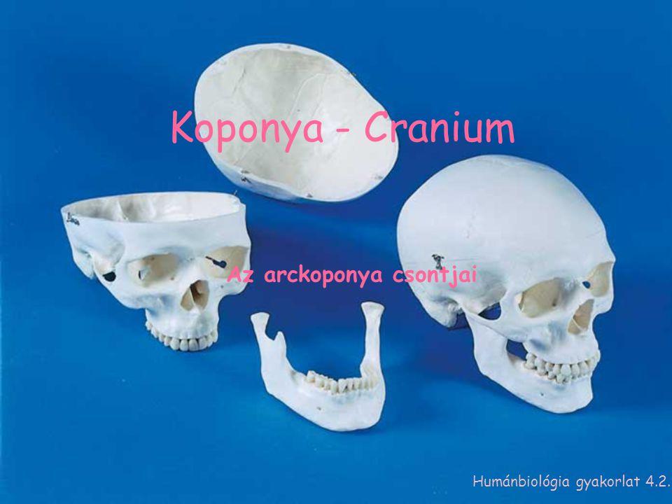 Az arckoponya csontjai