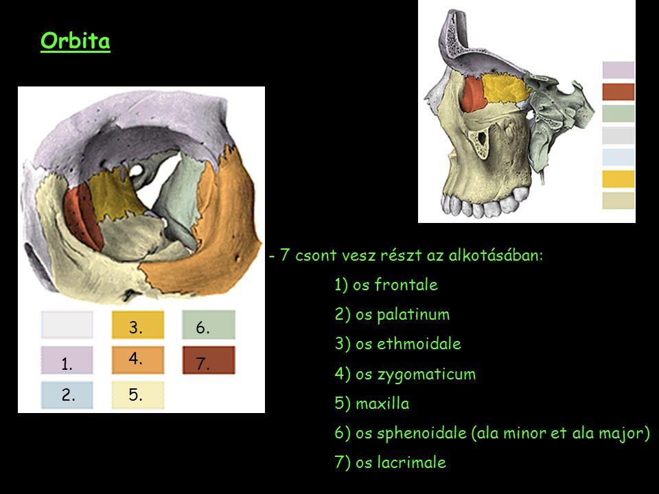 Orbita - 7 csont vesz részt az alkotásában: 1) os frontale