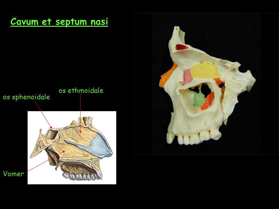 Cavum et septum nasi os ethmoidale os sphenoidale Vomer