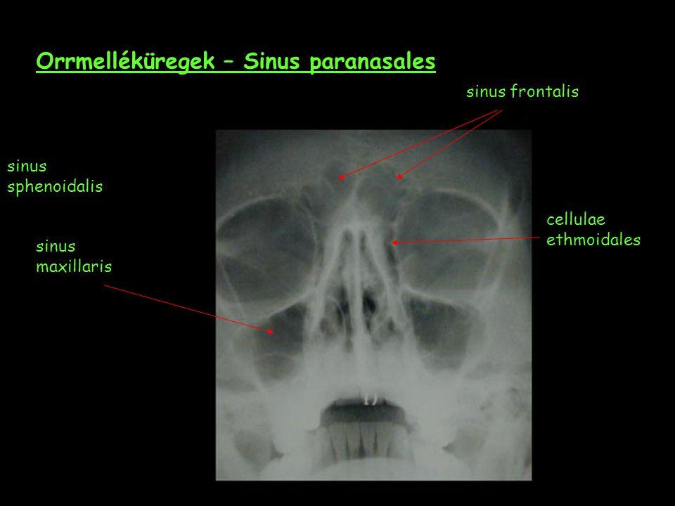 Orrmelléküregek – Sinus paranasales