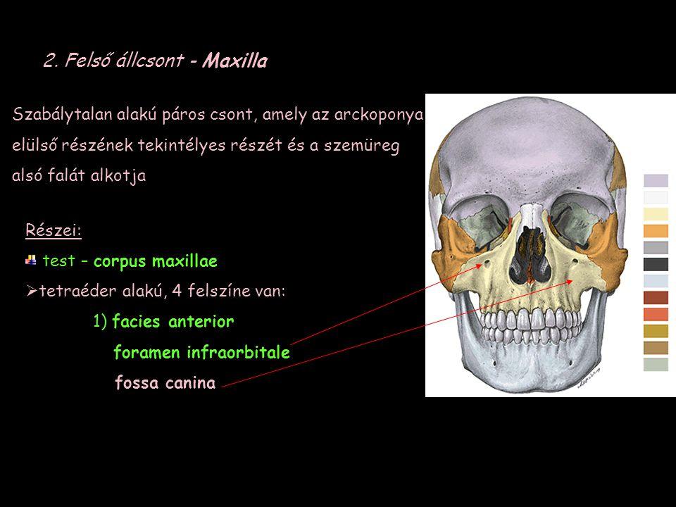 2. Felső állcsont - Maxilla