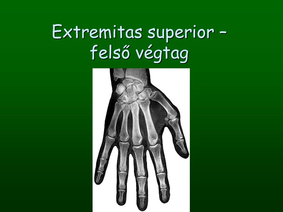 Extremitas superior – felső végtag