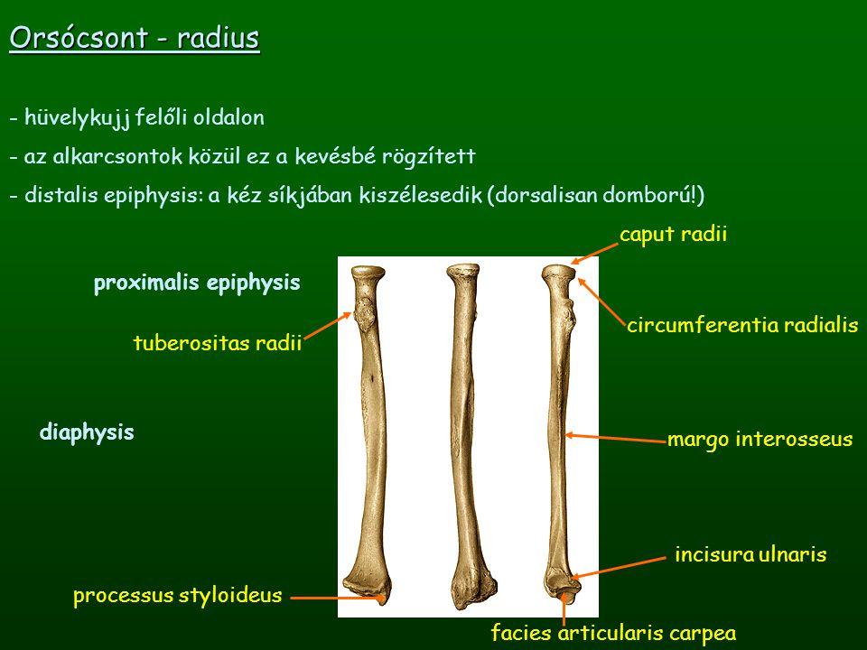 Orsócsont - radius hüvelykujj felőli oldalon