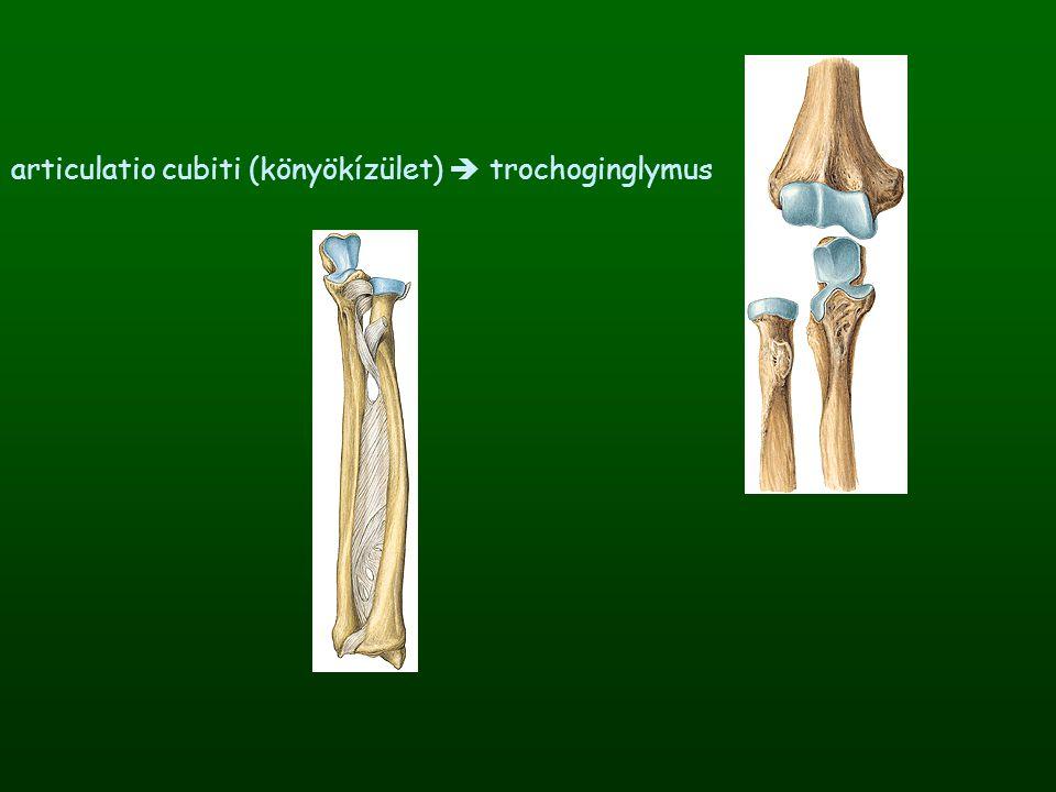 articulatio cubiti (könyökízület)  trochoginglymus