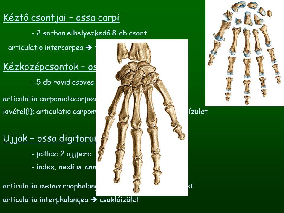 Kéztő csontjai – ossa carpi