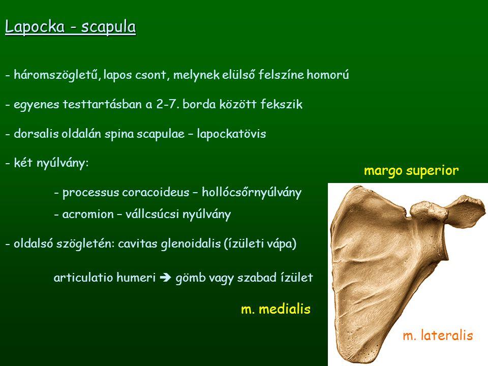 Lapocka - scapula margo superior m. medialis m. lateralis