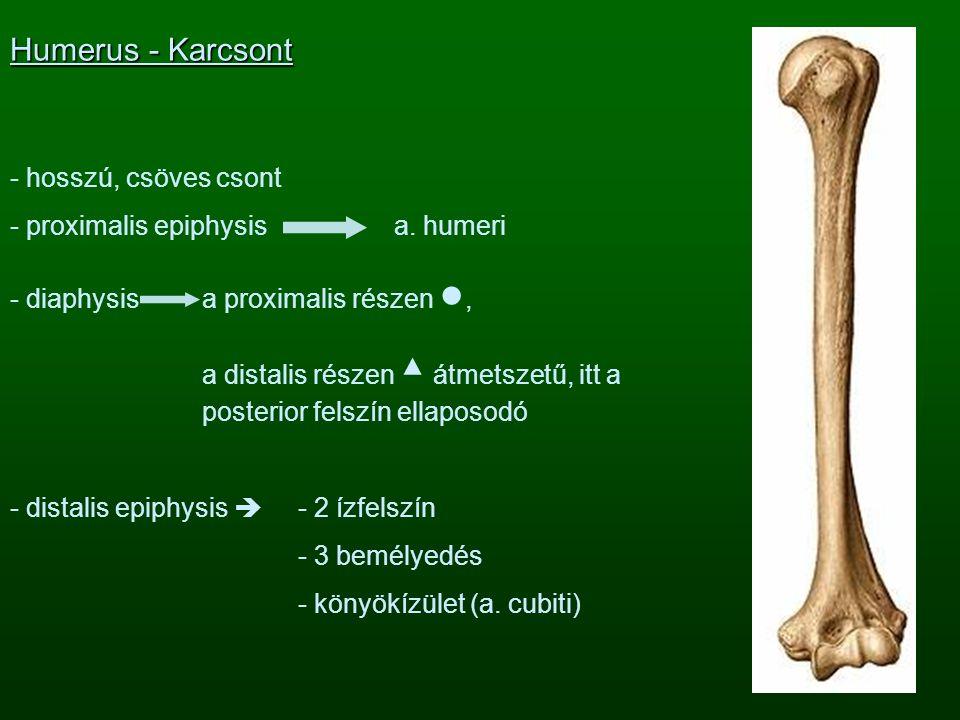 Humerus - Karcsont hosszú, csöves csont proximalis epiphysis a. humeri