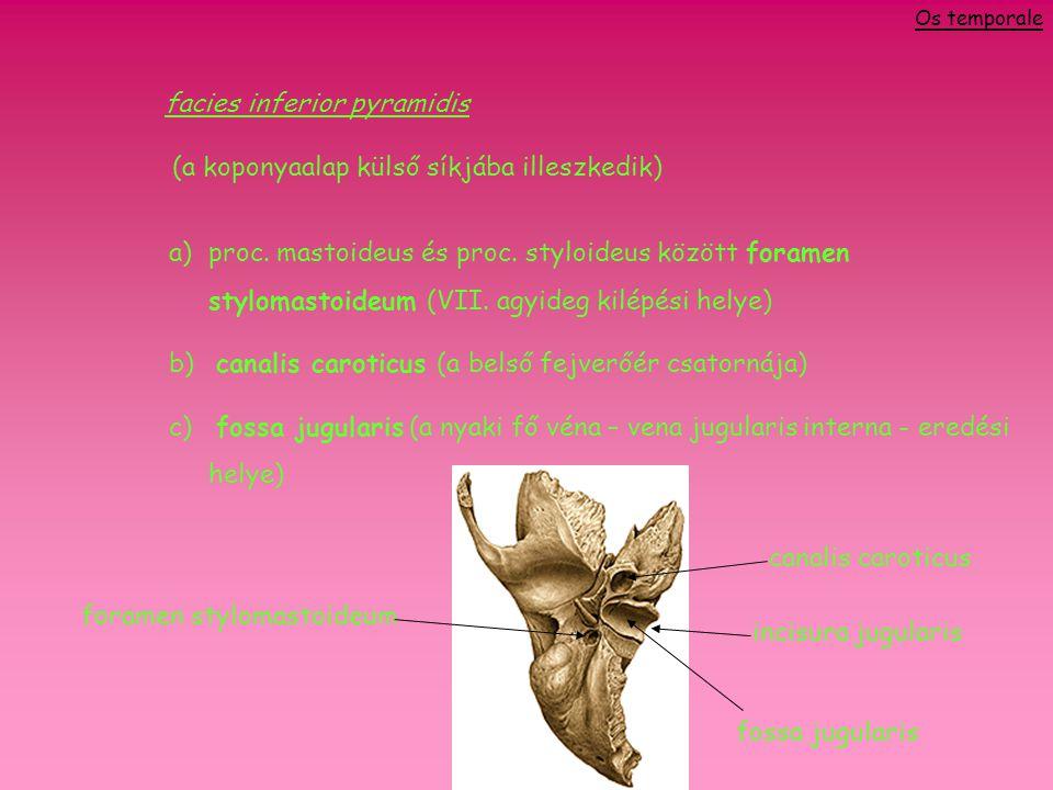 facies inferior pyramidis (a koponyaalap külső síkjába illeszkedik)