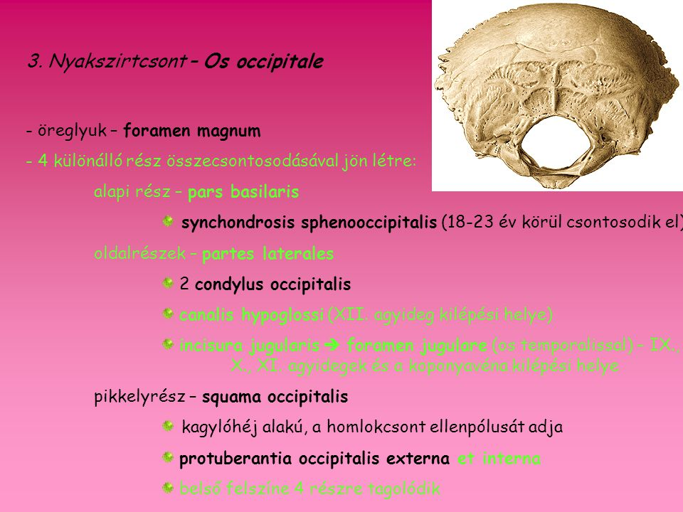 3. Nyakszirtcsont – Os occipitale
