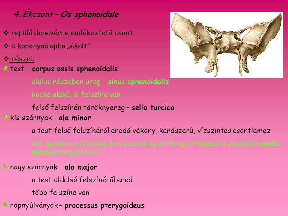 4. Ékcsont – Os sphenoidale