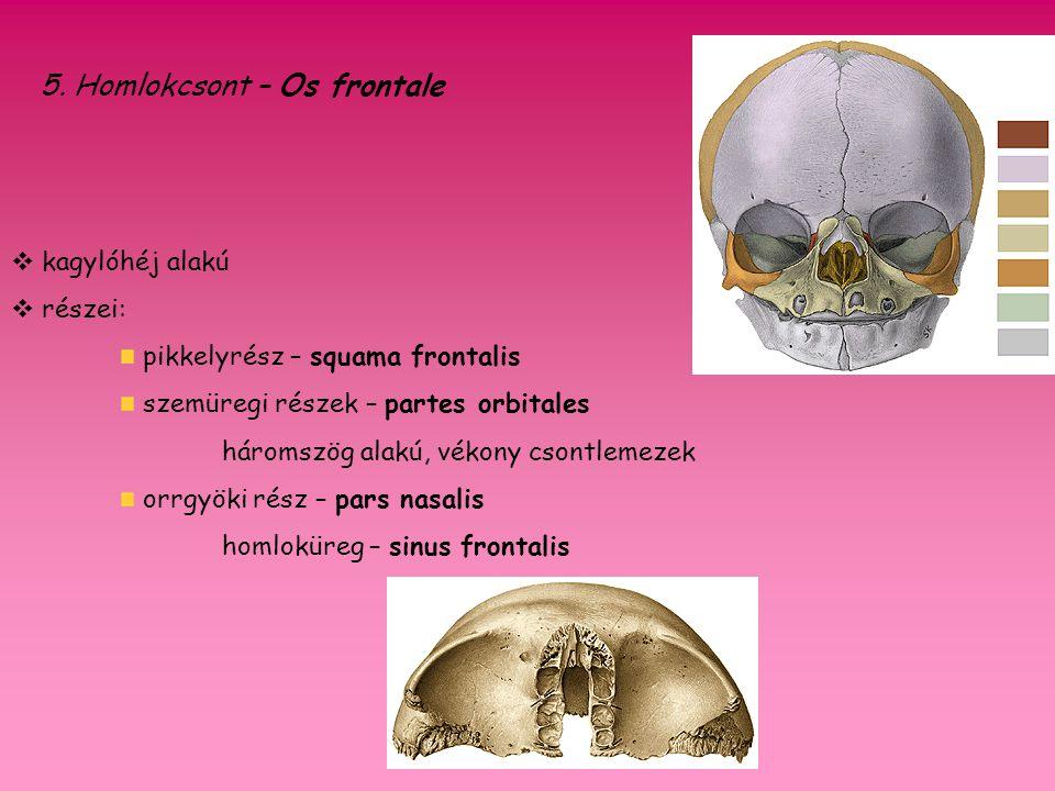 5. Homlokcsont – Os frontale