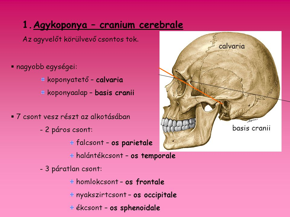 Agykoponya – cranium cerebrale