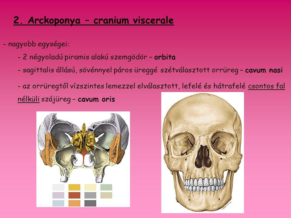 2. Arckoponya – cranium viscerale
