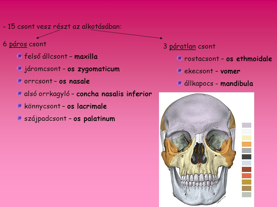 - 15 csont vesz részt az alkotásában: