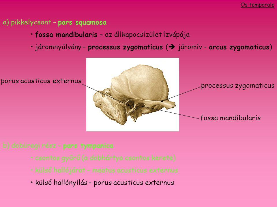 a) pikkelycsont – pars squamosa